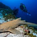 Lepard Shark