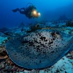 Blackspotted ribbontail stingray