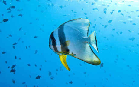 """Come say """"Hi"""" to our resident Batfish found on our House reef"""