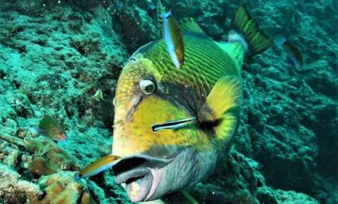 Triger fish